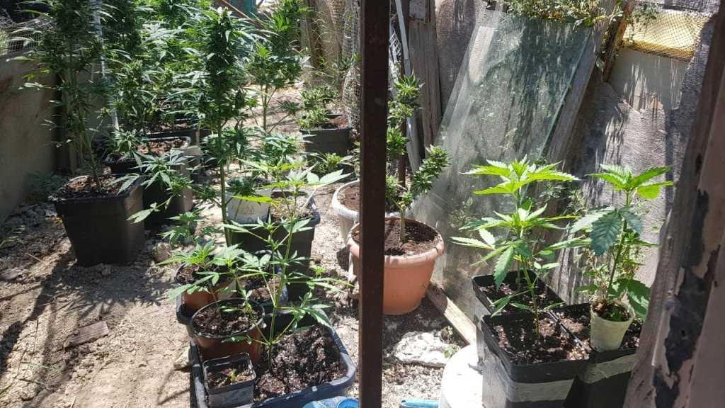 0-2-13 Δυο συλλήψεις για καλλιέργεια χασισόδενδρων
