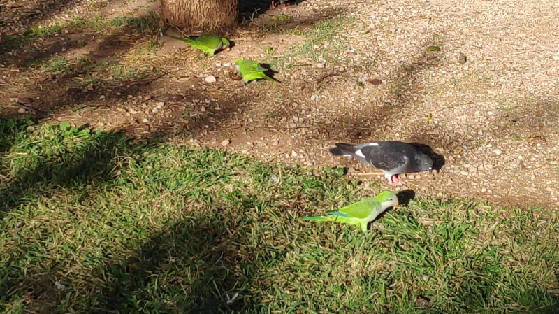 papagaloi-parko-athina Χρωματιστοί παπαγάλοι κατέκλυσαν το κέντρο της Αθήνας