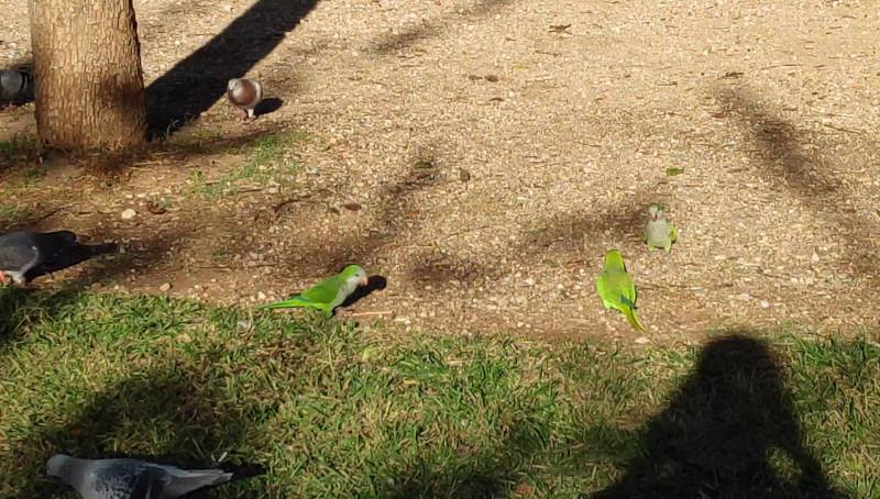 papagaloi-parko Χρωματιστοί παπαγάλοι κατέκλυσαν το κέντρο της Αθήνας